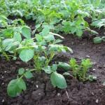 4月26日撮影。1カ月弱で畑にわっと茎が伸びてきました。期待の新人です。